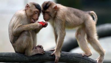 Photo of Mai multe maimuțe care au primit un vaccin anti-coronavirus au devenit imune la boală