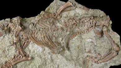"""Photo of Scheletul ciudat al unei """"fiare nebune"""" elucidează o parte importantă a evoluţiei mamiferelor"""