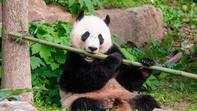 Photo of 10 lucruri uimitoare despre urșii panda