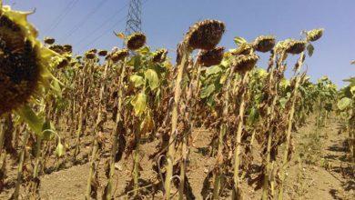 Photo of Cifra dezastrului din agricultură: 1,12 milioane de hectare distruse de secetă